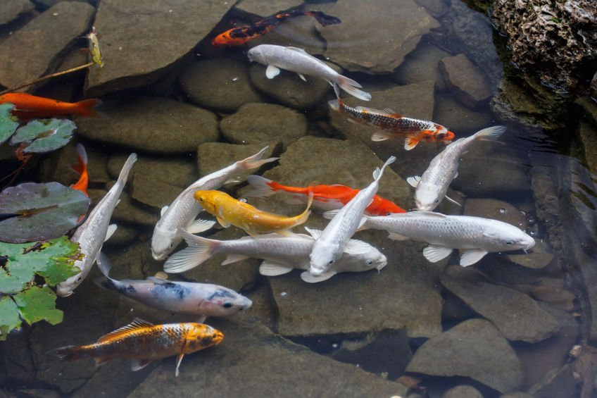 Best Types of Gold Fish For Small Ponds
